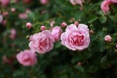 Розовый куст роз в саде Перенос наклона стоковые изображения rf