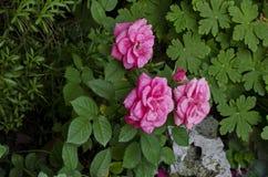 Розовый куст роз в цветени на естественном открытом саде Стоковое фото RF