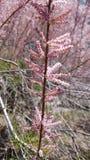 Розовый куст Стоковая Фотография