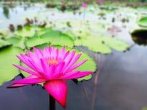 Розовый лотос в озере стоковые изображения rf