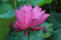 Розовый лотос в саде скромного должностного лица в Шанхае стоковое изображение