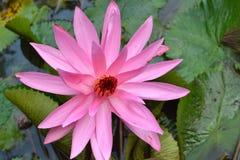 Розовый лотос дает дух стоковые фотографии rf