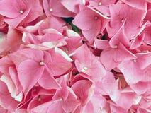 Розовый макрос лепестка гортензии стоковые фото