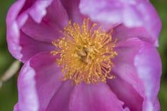 Розовый макрос цветения пиона Стоковая Фотография RF