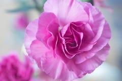 Розовый макрос цветка гвоздики Стоковая Фотография RF