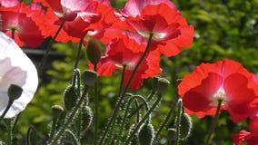 Розовый мак Белый, красный мак на зеленой предпосылке Конец-вверх маков на солнечный день сток-видео