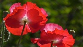Розовый мак Белый, красный мак на зеленой предпосылке Конец-вверх маков на солнечный день видеоматериал