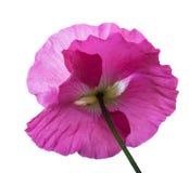 Розовый мак Стоковое Фото