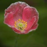 Розовый мак на зеленой предпосылке Стоковые Изображения