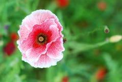 Розовый мак на луге Стоковое фото RF