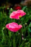 Розовый мак Стоковое Изображение RF
