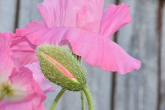 Розовый меховой бутон мака с цветком Стоковые Фотографии RF