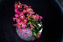 Розовый мирт crepe стоковая фотография rf