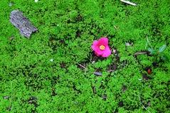 Розовый мох зеленого цвета цветка стоковая фотография rf