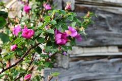 Розовый одичалый конец Розы вверх Стоковые Фотографии RF