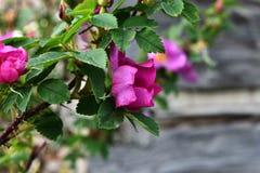 Розовый одичалый конец Розы вверх Стоковое Изображение