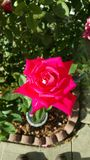 Розовый дом поднял Стоковая Фотография