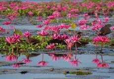 Розовый лотос в естественном пруде стоковые изображения