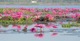 Розовый лотос в естественном пруде стоковое изображение