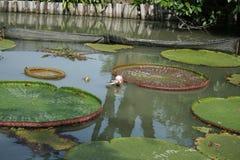 Розовый лотос в пруде с солнечным светом Стоковая Фотография RF