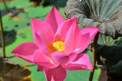 Розовый лотос плавая, (цветок nucifera Nelumbo) стоковое изображение rf