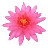 Розовый лотос Стоковое Изображение