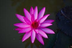 Розовый лотос Стоковые Фотографии RF