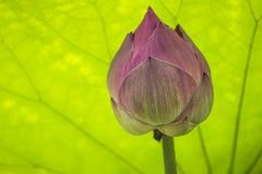 Розовый лотос Стоковое Изображение RF