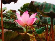 Розовый лотос Стоковая Фотография