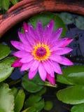 Розовый лотос Стоковое фото RF