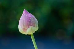 Розовый лотос Стоковое Фото