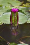 Розовый лотос Стоковые Изображения