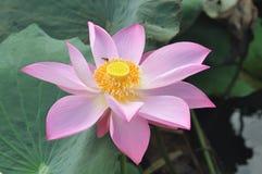 Розовый лотос Стоковые Изображения RF
