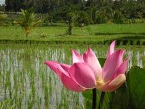 Розовый лотос Blosson Стоковое Изображение RF