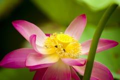 Розовый лотос gaertn nucifera nelumbo Стоковое Изображение RF