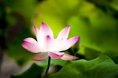 Розовый лотос gaertn nucifera nelumbo Стоковые Изображения