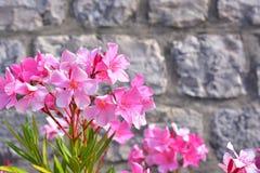 Розовый олеандр Стоковые Изображения RF
