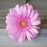 Розовый одиночный gerbera маргаритки Стоковое Фото