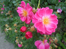 Розовый одичалый куст роз в саде лета Стоковое Изображение RF