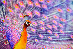 Розовый павлин фантазии - близкое поднимающее вверх Стоковое фото RF