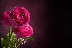Розовый персидский лютик 3 на темной предпосылке Стоковые Изображения