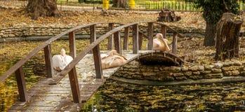 Розовый пеликан отдыхая на деревянном мосте через озеро в a Стоковые Фотографии RF