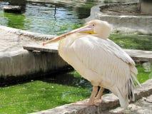 Розовый пеликан стоит около малого реки стоковые изображения