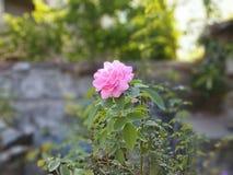 Розовый пинк цветка Стоковые Фотографии RF