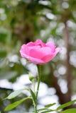 Розовый пинк стоковое изображение rf