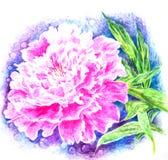 Розовый пион показывает душистые лепестки иллюстрация вектора