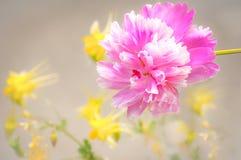 Розовый пион с желтой мягкой флористической предпосылкой Стоковая Фотография