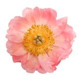 Розовый пион с падениями воды изолированный на белой предпосылке Взгляд сверху Стоковое Изображение