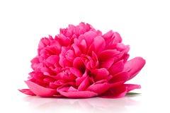 Розовый пион Стоковая Фотография RF