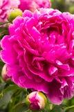 Розовый пион Стоковое Фото